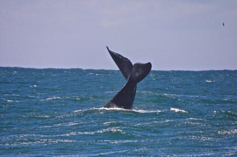 Elas estão de volta com seus Filhotes, saiba como observar as Baleias sem Prejudicar.