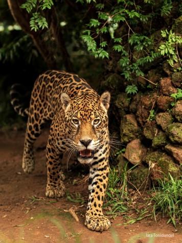 Jaguar - Brasil
